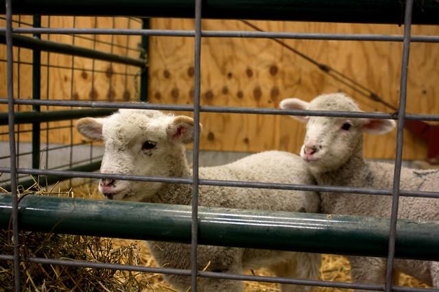 lambs - 7