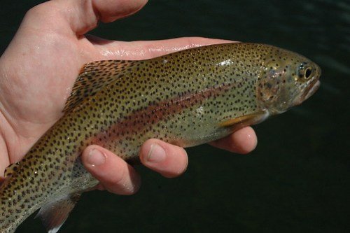 Chilean Rainbow Trout