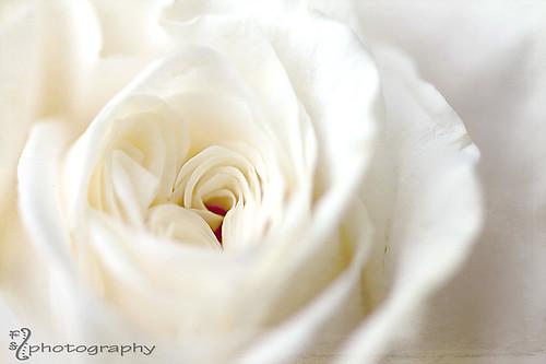 Sweet, soft rose