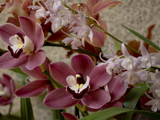 Cymbidium Fuss 'Fantasy' with Dendrobium King Rose 'June Patricia'