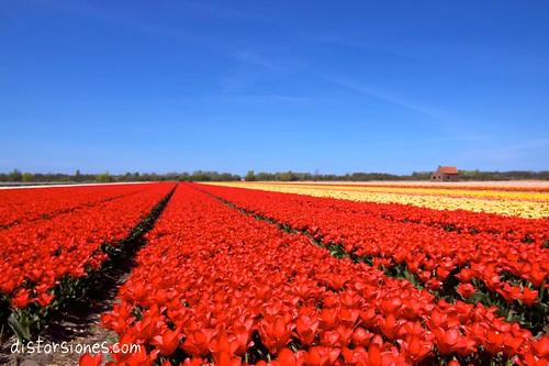 Campo de tulipanes en Noordwijk