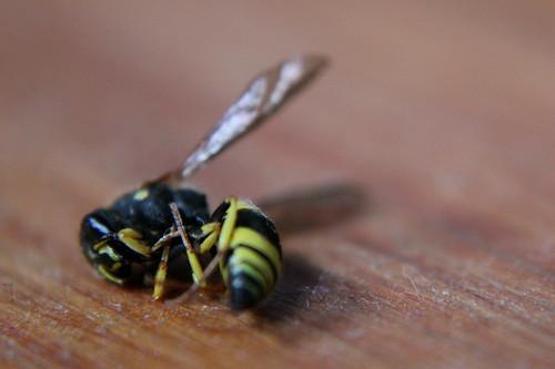 Sunday: Wasp