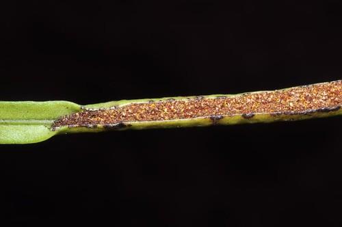 Belvisia mucronata var. mucronata