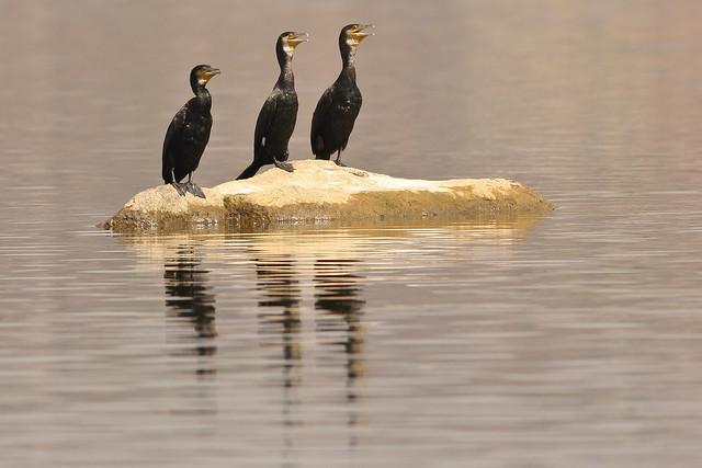 Little Cormorants