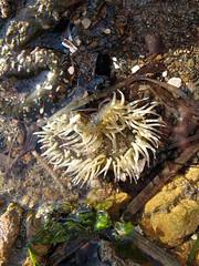 Tidepool anemone