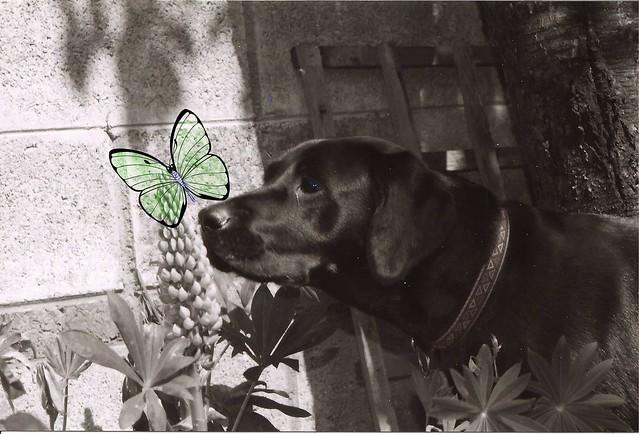 clover-butterfly