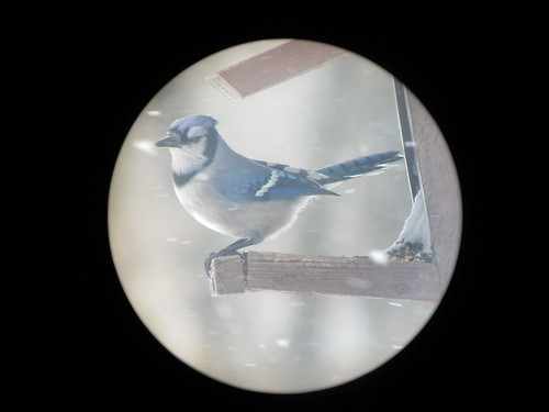 Blue Jay - through the spotting Scope