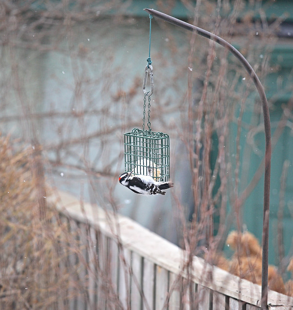 Backyard Birding Downy Woodpecker