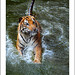 "Tiger #3 • <a style=""font-size:0.8em;"" href=""http://www.flickr.com/photos/8038254@N06/5578806110/"" target=""_blank"">View on Flickr</a>"