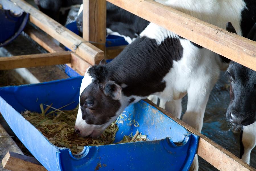 20110205_14_Raiseing cattle_04