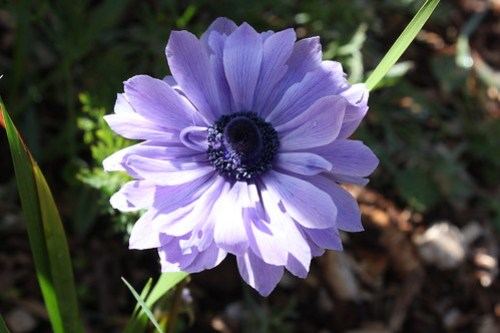 Anemone: A purple anemone with narrow petals.