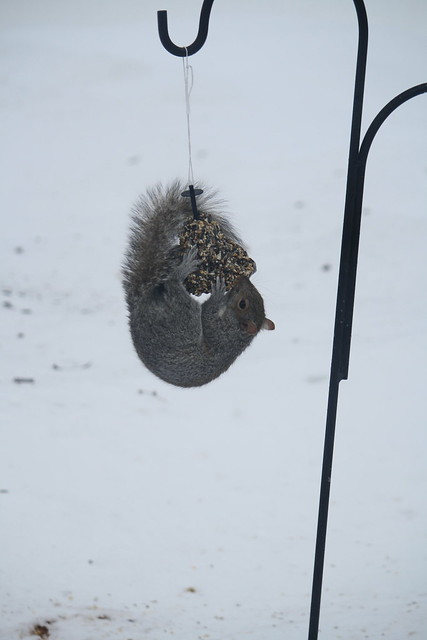 gray squirrel antics 2