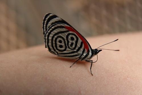 mariposa V