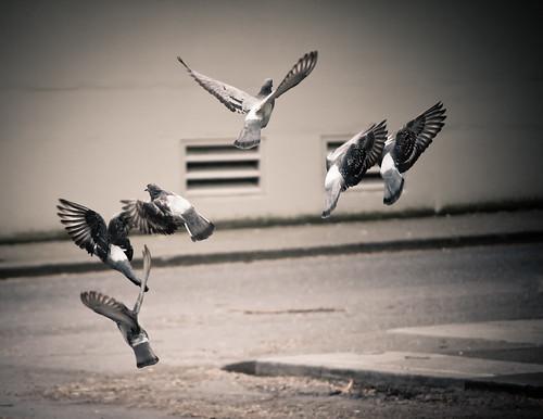 Pigeon Ballet