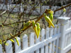Almost forsythia