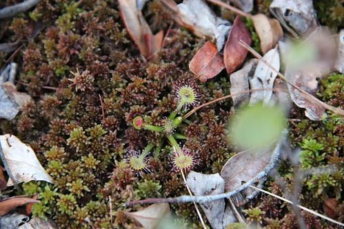 Drosera rotundifolia in the Zurich Bog
