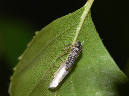 Leafhopper moulting