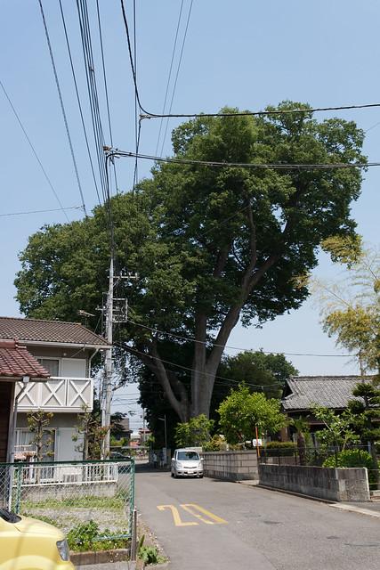 #1 The Giant Zelkova of Shinmachi