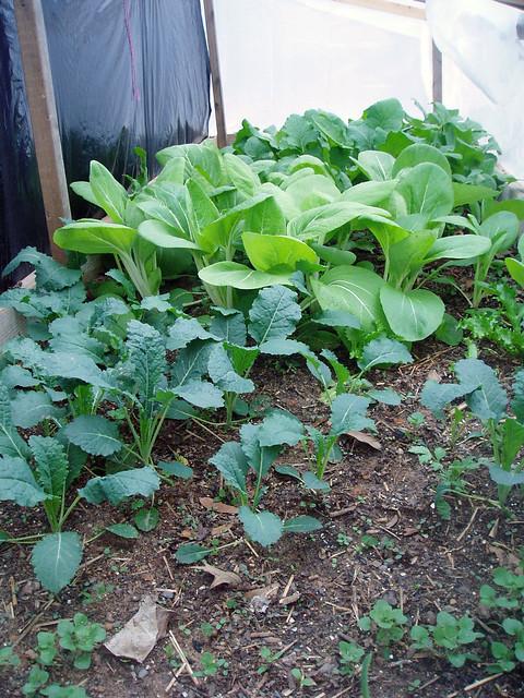 mid spring cold frame open lotus garden