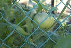 Blueridge mountain tomato