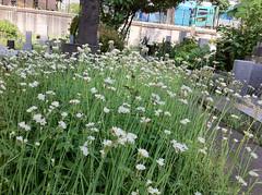 青山霊園の花(Flower, Aoyama Cemetery, Tokyo, Japan)