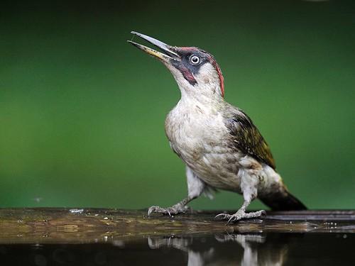 Green-Woodpecker