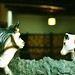 Toro & Vaca