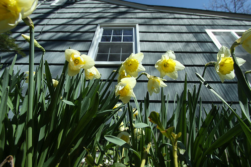 Daffodils And Siding