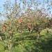 apples fall2010