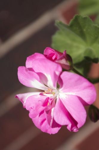 04.07.2011 Geranium