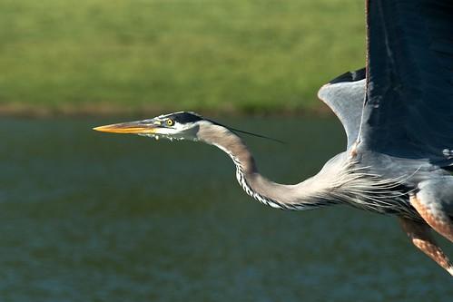 Heron in Flight by MatthewOsbornePhotography