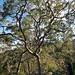 Local Gum Tree