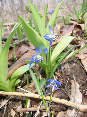 20110410_squill