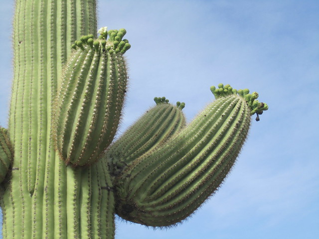 New Saguaro Growth