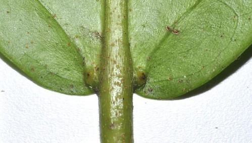 Croton triacros