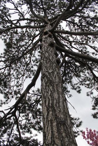 New York Botanical Gardens - Austrian black pine (Pinus nigra ssp. nigra)