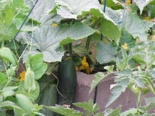Cucumber April 18th