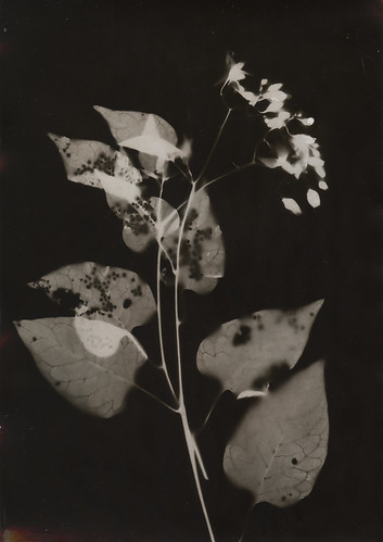 Poisonberry Photogram