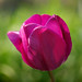 purple tulip - square