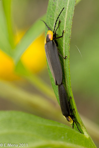 Candelilla, Luciérnaga / Fireflies or Lightning Bugs