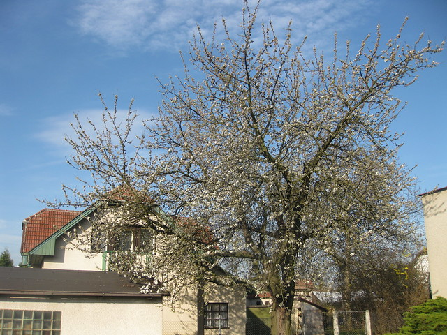 Cherry tree blossoming outside of the house