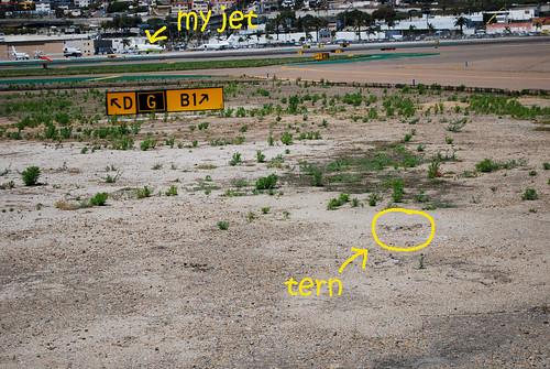 califirnia least terns nest here