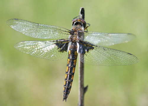Common Baskettail 2