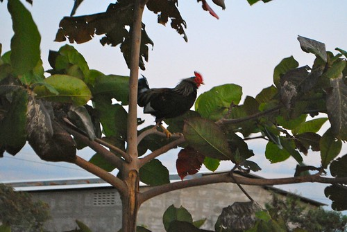 why did the rooster climb the tree?