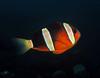 Maroon clownfish  - Amphiprion tricinctus by divemecressi