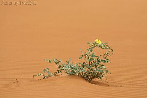 Desert Flower by TARIQ-M