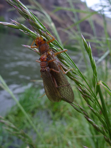Deschutes River Golden Stonefly