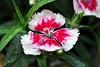 dianthus petals 2
