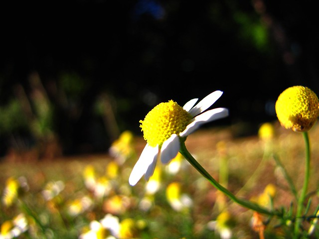 camomile in the sun