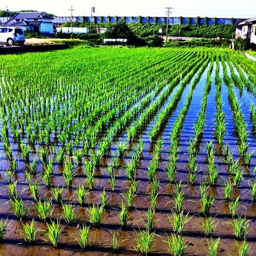田植えの季節。#rice-planting